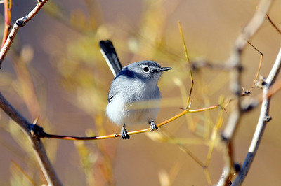 Gnatcatchers, Old World Warblers