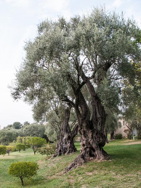 Olivträd i Renoirs trädgård