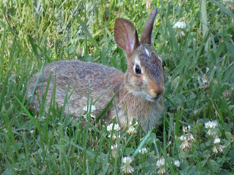 sx50_rabbit_fauna_789.jpg