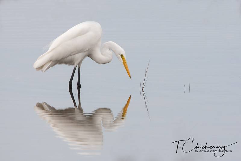 Great Egret with Reflection-1505771734865.jpg