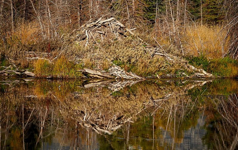 Abandoned beaver lodge