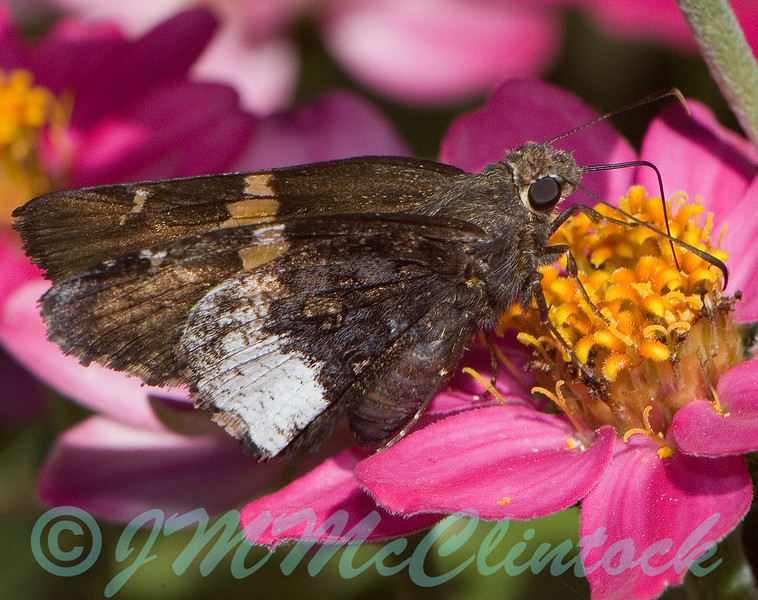 Silver-spotted skipper.