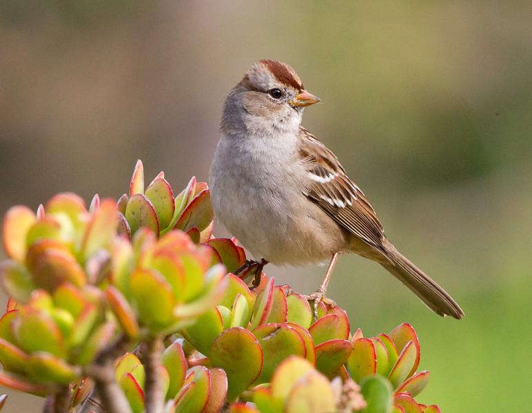 White-crowned Sparrow   Rosacrutian Center Oceanside 2011 11 20 (1 of 1).CR2