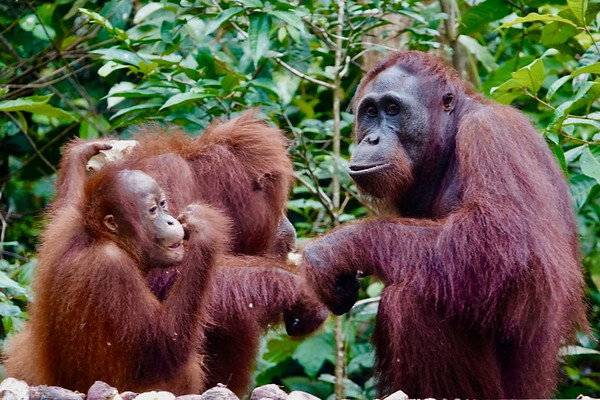Orangutans on the Platform, iPhone photos