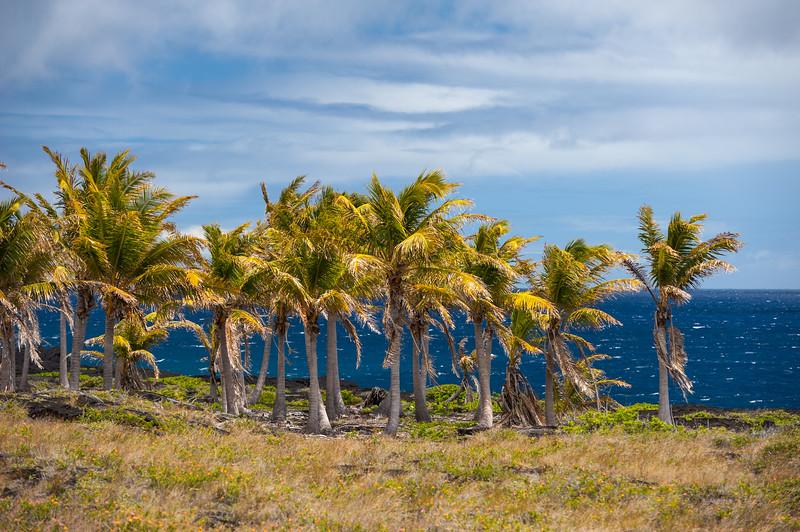 Hawaii Palms 1