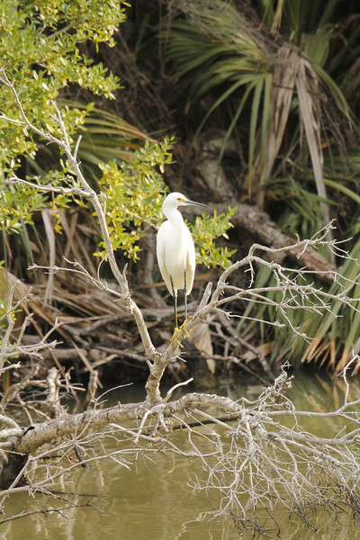 Snowy Egret has yellow/black legs and yellow feet - smaller than Great Egret