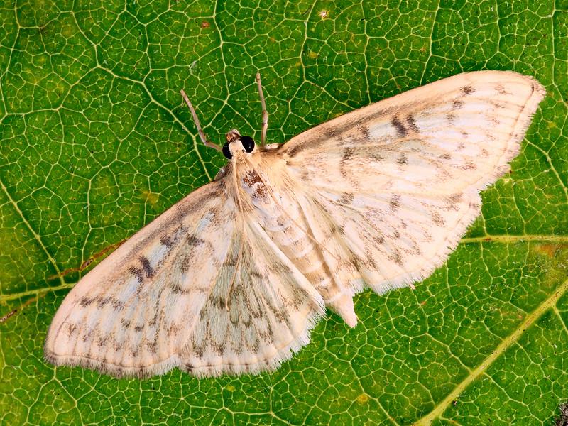 Abdominal Grass Moth