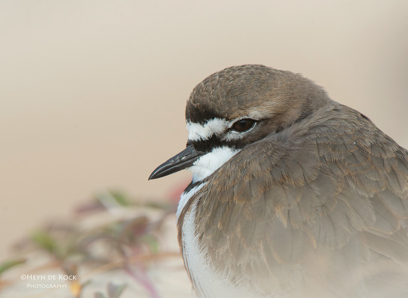 Double-banded Plover, Lake Conjola, NSW, Aug 2013-6.jpg