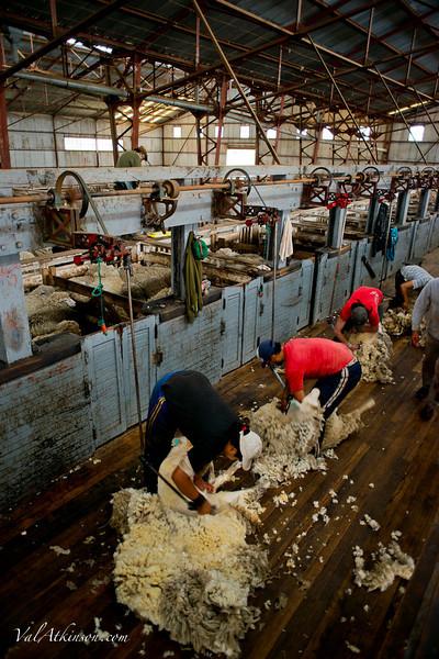 Sheep shearing at Maria Behety