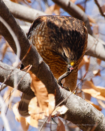 Hawk Eating Snake