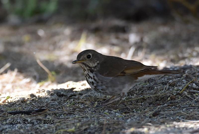 Hermit Thrush - 4/5/2015 - Agua Caliente campground