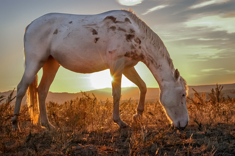 Backlit Wild Horse Grazing #1