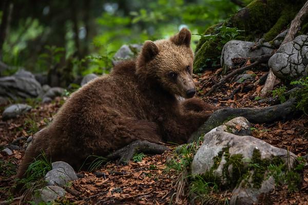 Slovenian bears
