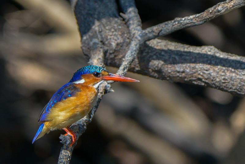 Malachite Kingfisher, Zambia