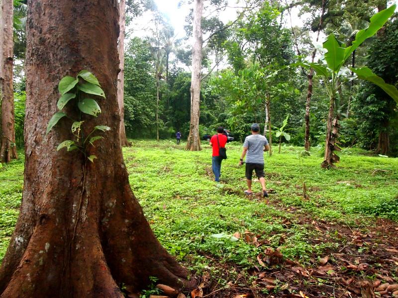 Big Durian Trees.jpg
