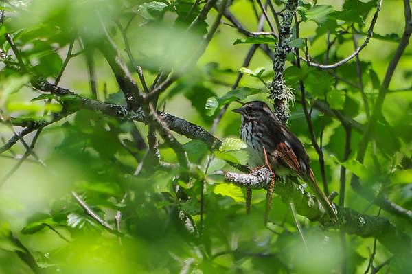 6 2013 Jun 4 Song Sparrow*