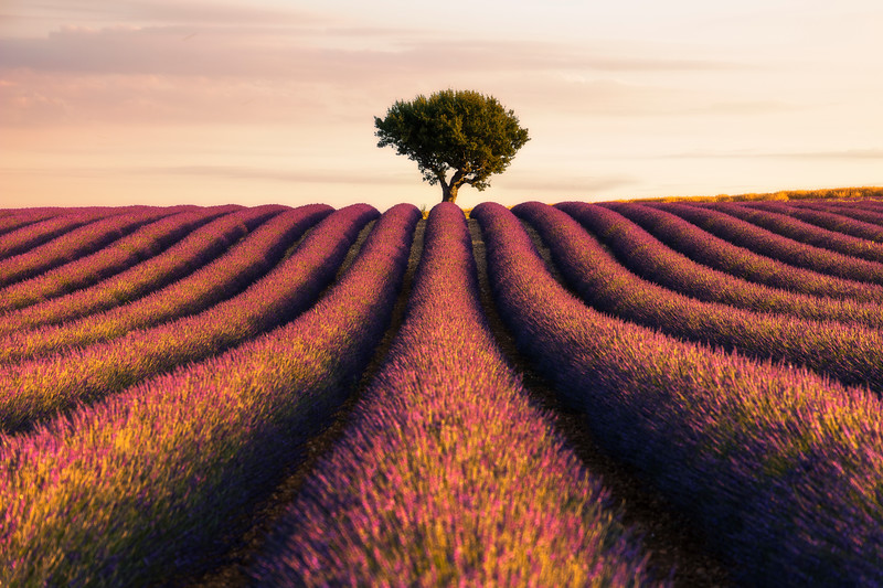 Lavender Valonsole angelvin morning epic beautiful single tree rows clean france provence.jpg