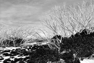 Donna Clarke - Snow Gums