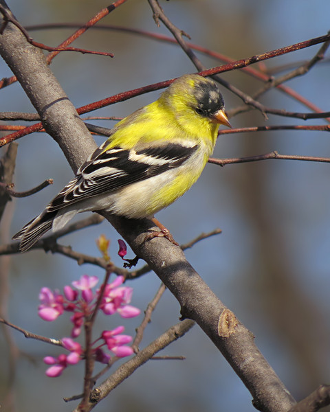 sx50_goldfinch_bit_194.jpg