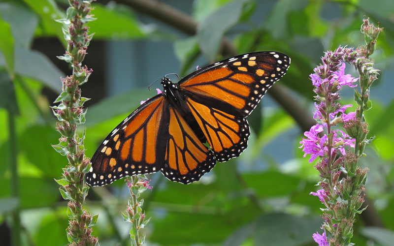 sx50_butterfly_monarch_flora_HD_1113.jpg