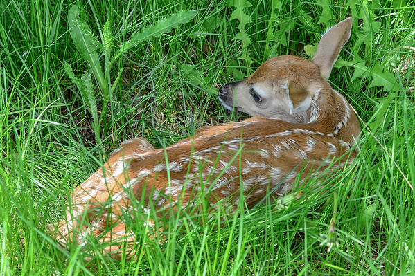6 2013 Jun 15 White Tail Fawn (only few days old)*