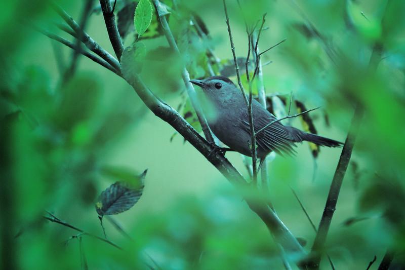 9.25.18 - Blackburn Creek Fish Nursery: Gray Catbird