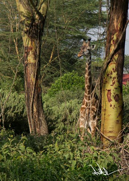 Giraffes-16.jpg