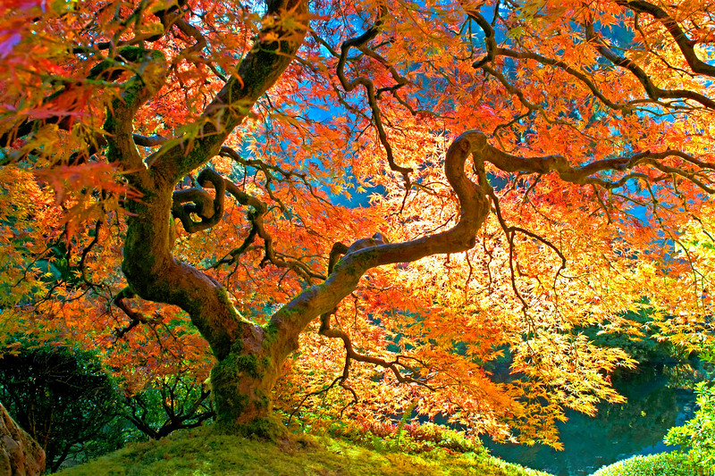 Japanese Maple at Japanese Gardens