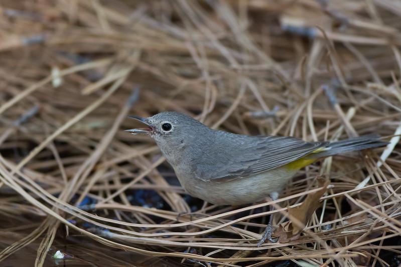 Virginia's Warbler - Carr Canyon, Nr. Sierra Vista, AZ, USA