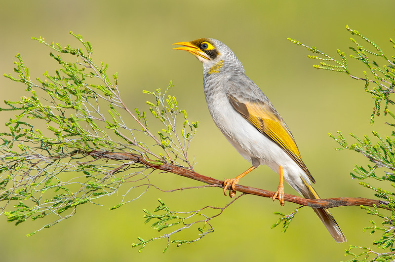 Yellow-throated Miner – Manorina flavigula (Yalara, Northern Territory)