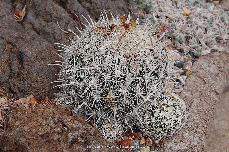 Coryphantha echinus