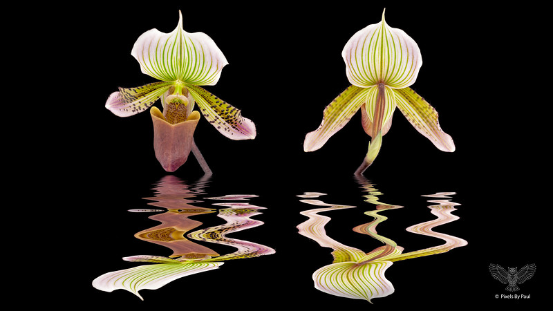 Orchid Reflections