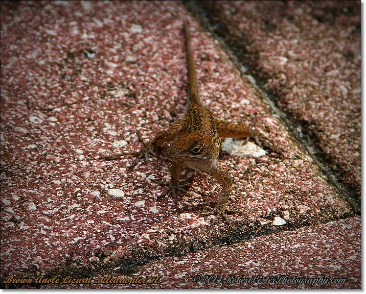 2014-06-23_IMG_4112_Brown Anole Lizard  ...Clearwater,Fl._.JPG