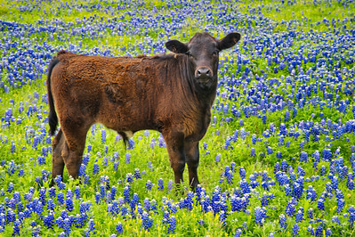 We also found some cows and calves grazing in a field of bluebonnets.