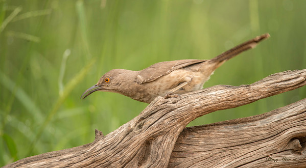 Curved-Billed Thrasher 33_DWL5776.jpg