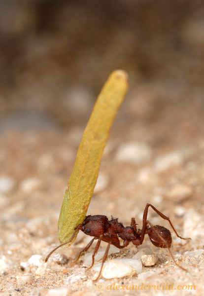A desert leafcutter, Acromyrmex versicolor, carrying a leaf back to her nest.  Tucson, Arizona, USA