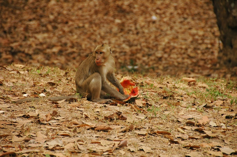 Monkey Eating a Watermelon - Angkor, Cambodia