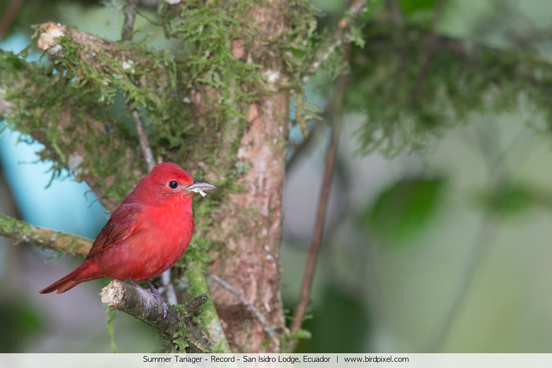Summer Tanager - Record - San Isidro Lodge, Ecuador