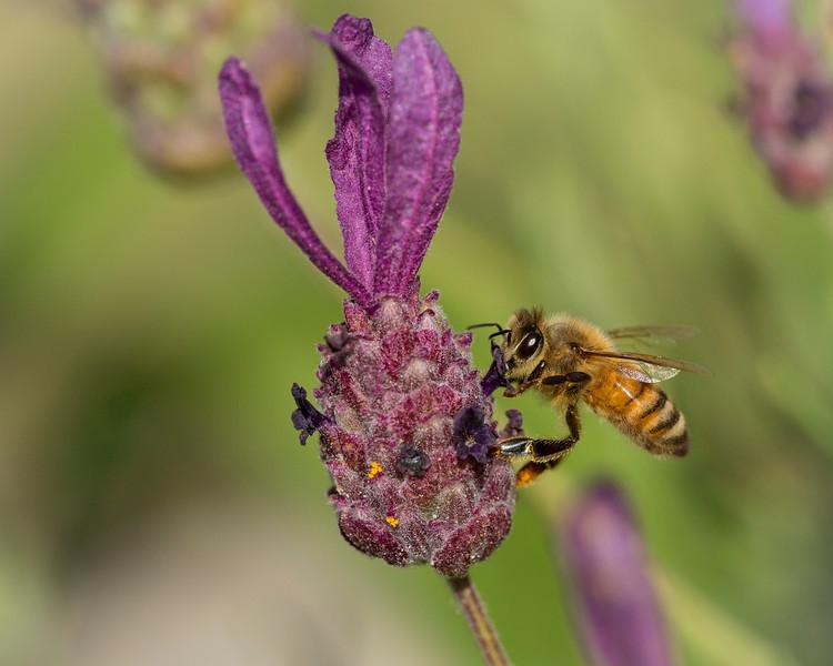 Bee Macro-0389.JPG