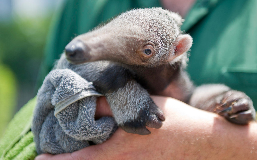""". Young anteater \""""Evita,\""""  June 18, 2013 at the Berlin Zoo. Ole Spata/AFP/Getty Images"""