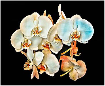 Orchids White Fantasy