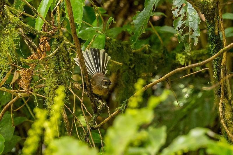 Fantail (Fächerschwanz) am Wegesrand