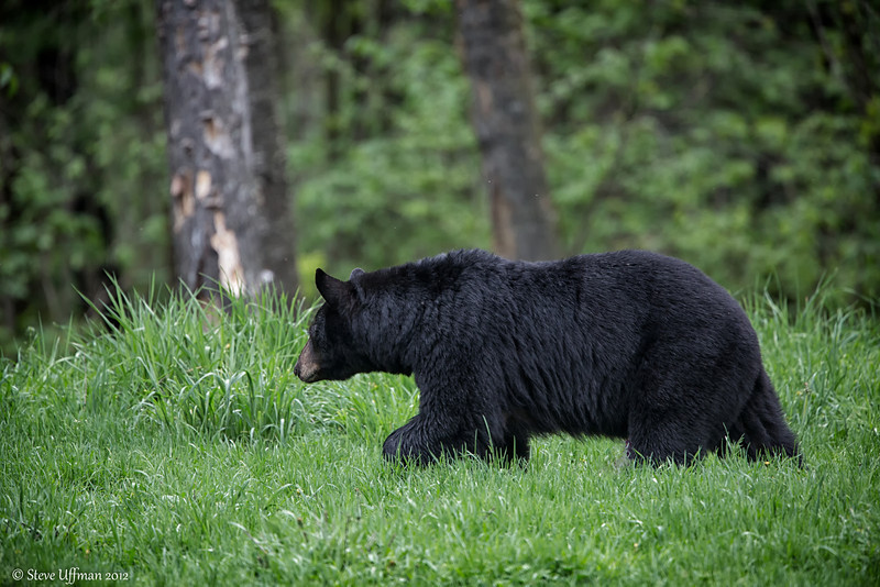 20120520-_Q2C6576Black_Bears-Edit.jpg