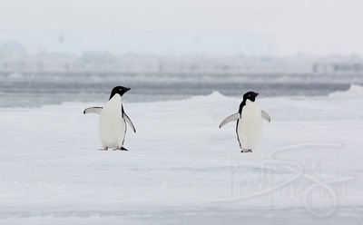 Adelie Penguins. Snow Hill Island, Antarctica