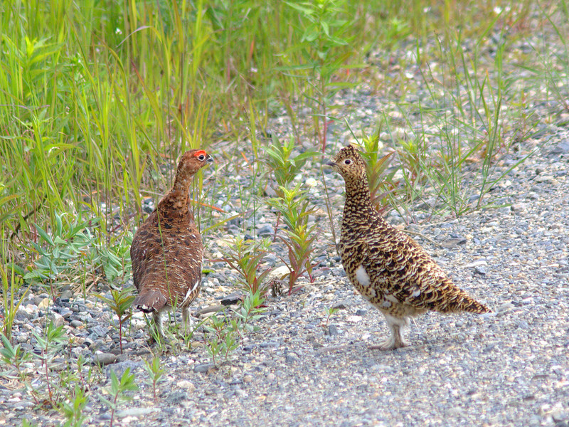 Willow Ptarmigan pair (Alaska's state bird)