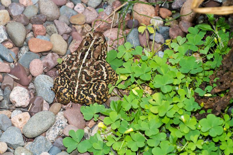 toad American Toad Bufo americanus garden at Skogstjarna Carlton County MN IMG_3470.jpg