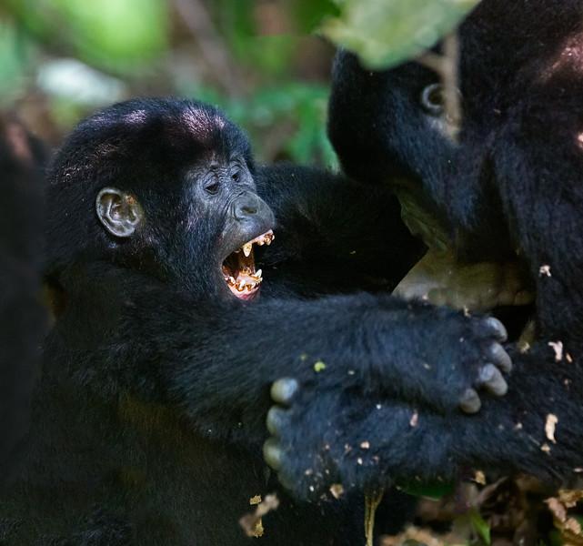 baby gorilla baring brown teeth.jpg