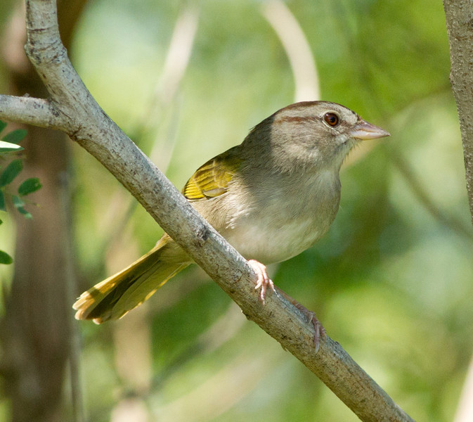 Olive Sparrow  South Texas 2012 03 23-3.CR2