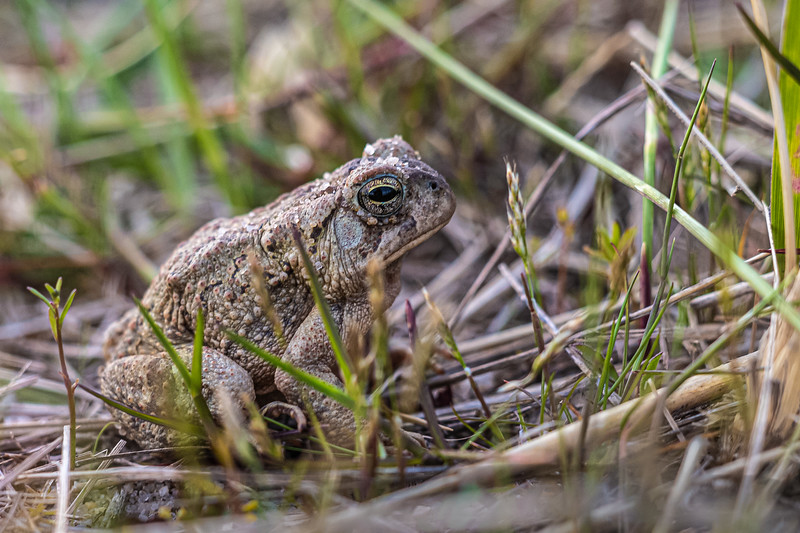 toad on Hatch's Harbor trail.jpg