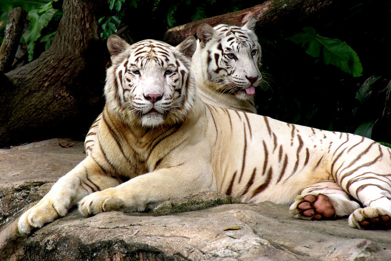 WHITE TIGERS.jpg